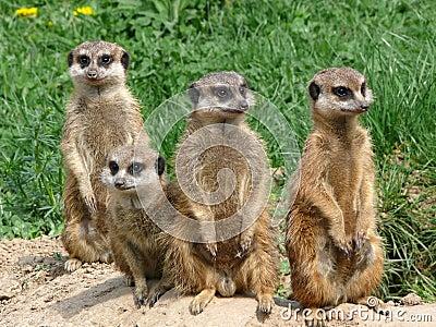 Meerkats - Suricata suricatta