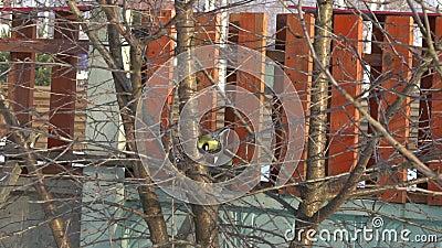 Meesvogel op de boom stock footage