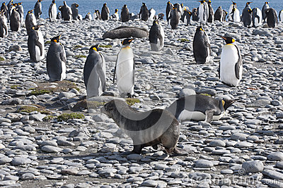 Meeting of a seal and king penguins