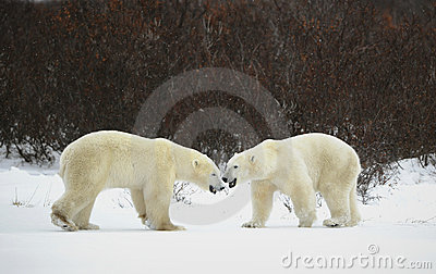 Meeting of two polar bears.