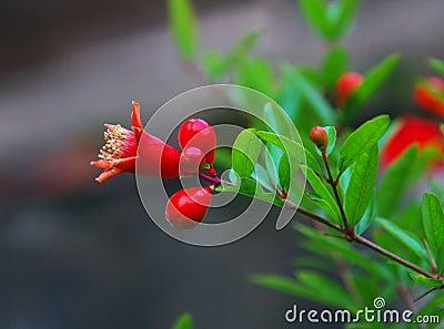 Megranate flower