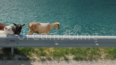 Mehrere Ziegen gehen an der Straße entlang, von der Busfenster aus kann man den Blick genießen Reisen in Norwegen stock video footage