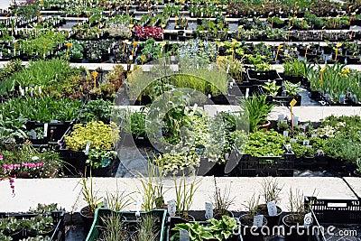 Mehrjährige Pflanze für Verkauf