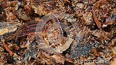 Meilleure vue de la médecine herbacée TuBieChong ou Eupolyphaga Steleophaga ou cassé Ground Beetle rotte et pause banque de vidéos