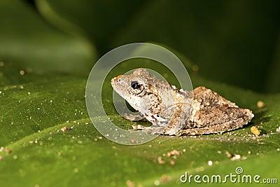 Meintein Tree Frog