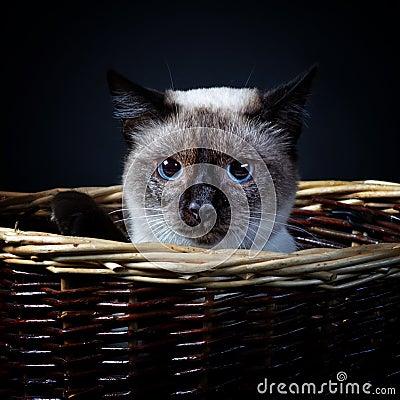 Mekong bobtail (cat) 1