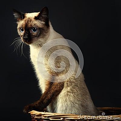 Mekong bobtail (cat) 2