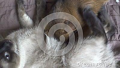 Mekong bobtail de chat adulte et kitten somali Le chaton suce du lait chez le chat adulte, clips vidéos