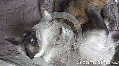 Mekong bobtail de chat adulte et kitten somali Le chaton suce du lait chez le chat adulte, banque de vidéos