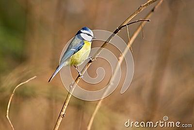 Melharuco azul