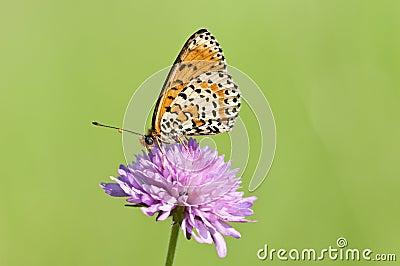 Melitaea butterfly