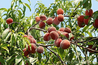 Melocotones maduros en el árbol