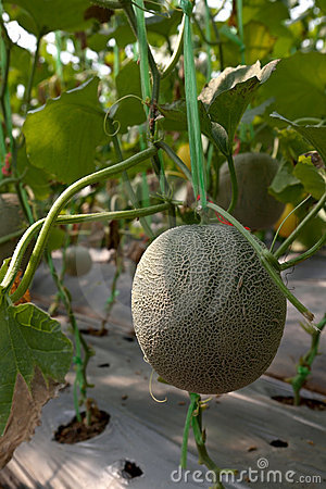 Free Melon From Farm 2 Royalty Free Stock Images - 18943829