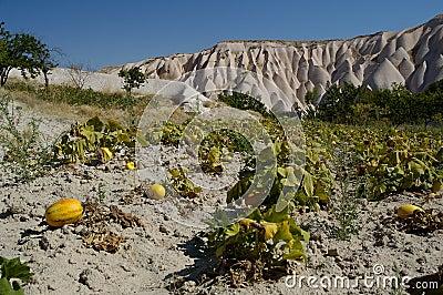 Melon / pumpkin garden in cappadocia II