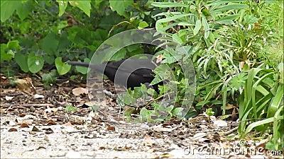 Melro britânico que forrageia no mato para o alimento do material do aninhamento vídeos de arquivo