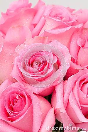 Menchii róża