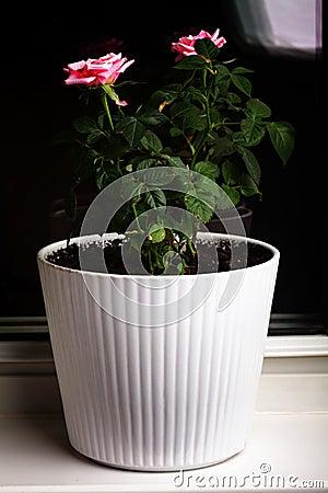 Menchii salowa roślina wzrastał