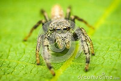 Mendoza canestrinii jumping spider