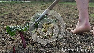Meningsclose-up op het proces van de onlangs geplante bieten op een groot collectief landbouwbedrijfgebied in Zwitserland stock videobeelden