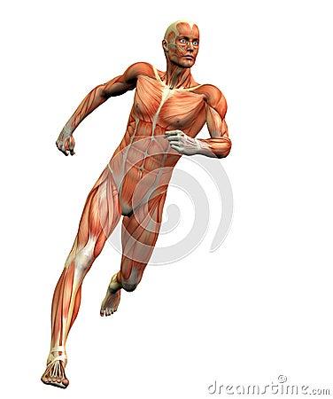Mens 3 van de anatomie