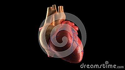 Menschlicher Herz-Schlag - ALPHA