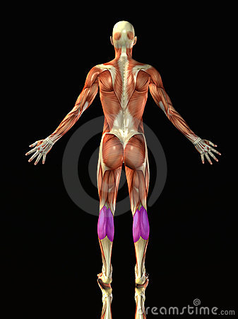 Menschlicher Körper des Kalbs
