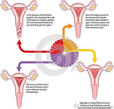 Free Menstrual Cycle Stock Image - 25485951