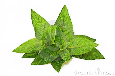 Mentha piperita Stock Photo