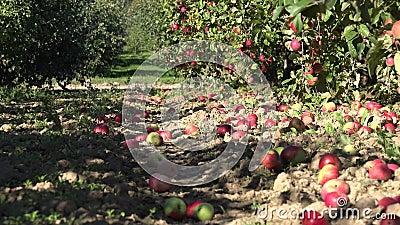 Mentira fresca roja de la manzana en la tierra en jardín en el tiempo de cosecha 4K almacen de metraje de vídeo