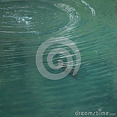 Mergulho de Platypus