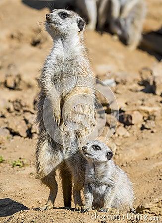 Free Merkat With Baby Stock Image - 70787641