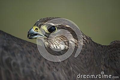 Merlin, Falco columbarius, esmerejon Portrait