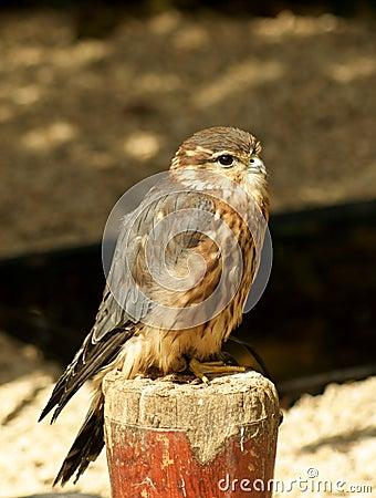 Merlin falcon bird
