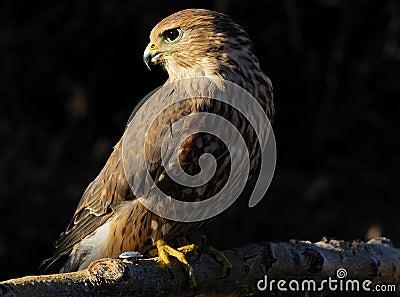 Merlin or Pigeon Hawk