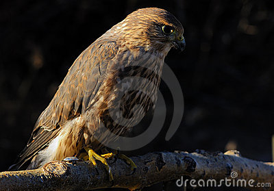 Merlin or Pigeon Hawk