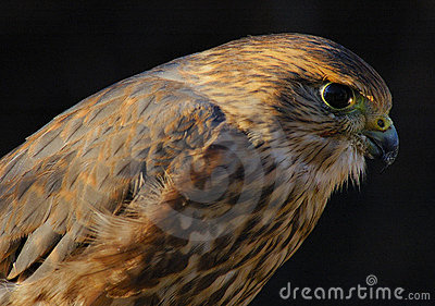 Merlin or Pigeon Hawk (portrait)