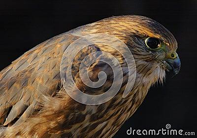 Merlin or Pigeon Hawk (portrait)
