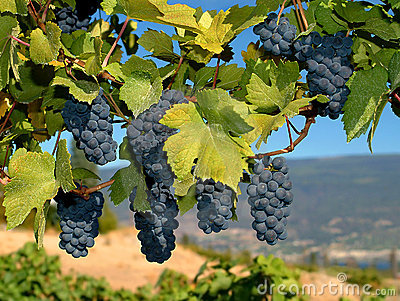 Merlot виноградин