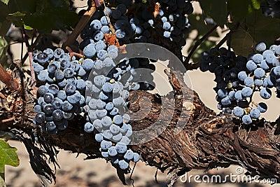 Merlot Grapes on Vine
