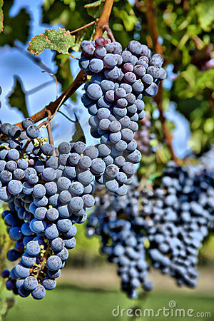 Merlot Grapes in Vineyard HDR