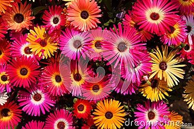 Mesembryanthemum, Daisy