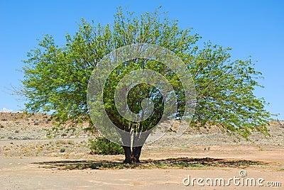 Mesquite tree in desert
