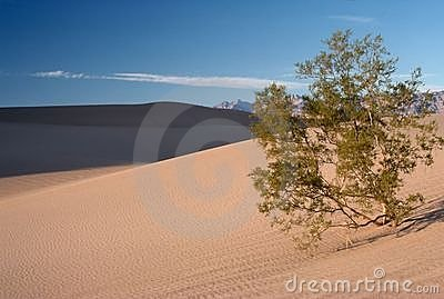 Mesquite Tree in Sand Dunes