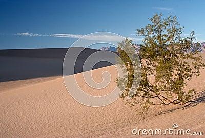 Mesquite Tree in Sand Dunes
