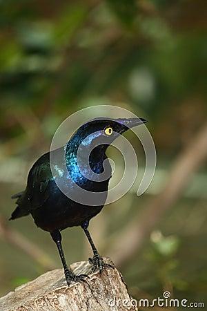 Metallic blue bird