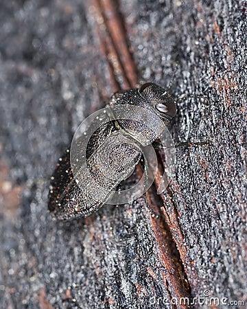 Metallic wood-boring beetle on wood