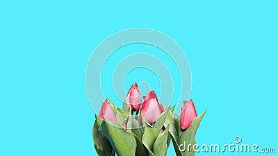 Metallina rossa di fioritura dei germogli di fiore dei tulipani ALFA stock footage
