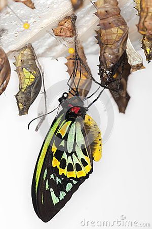 Free Metamorphosis - Common Birdwing Butterfly Royalty Free Stock Image - 25550186