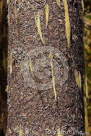 Methuselah s Beard Lichen