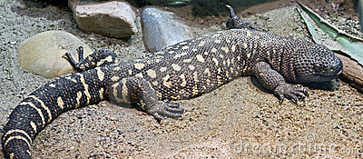 Mexican Beaded Lizard 6 Stock Photos Images Pictures 32 Images